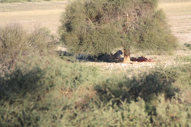 Leeus met vangs onder boom