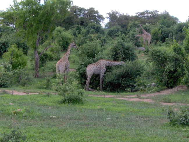 Giraffe in the Chobe