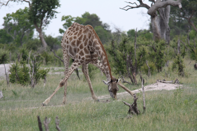 Giraffe at Ngweshla