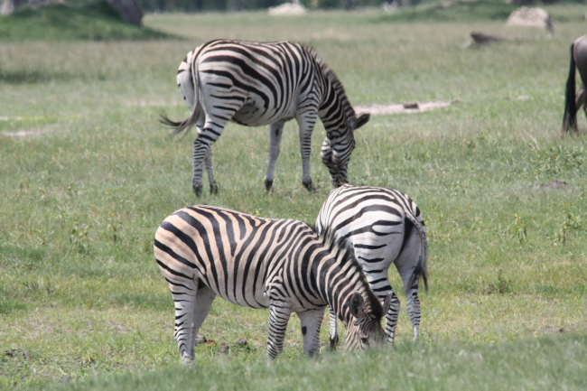 Zebra at Ngweshla