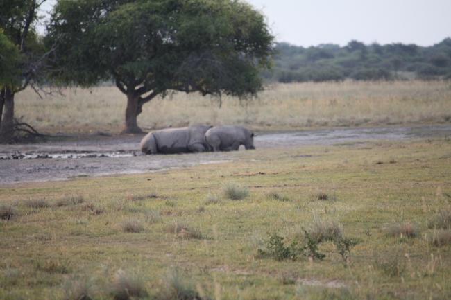 Renosters in Khama Rhino Sancturary