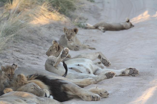 Leeuwyfie slaap in pad