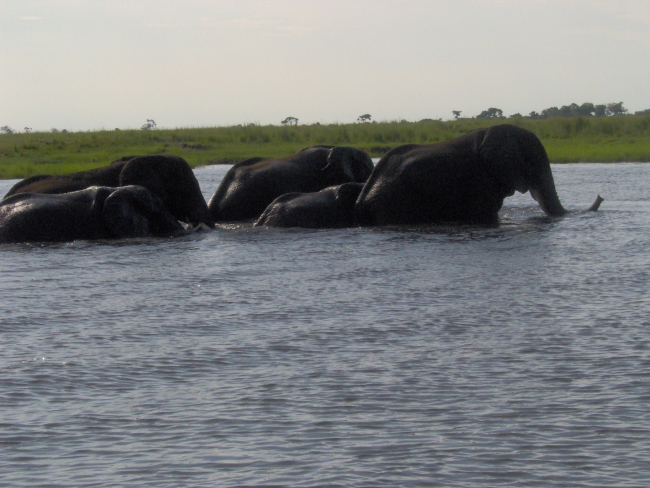 Elephants in the Chobe River