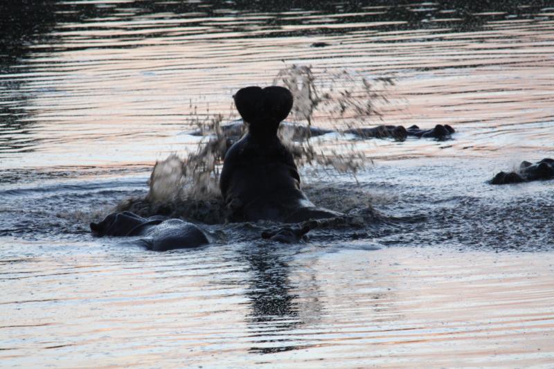 Hippo in Masuma Dam