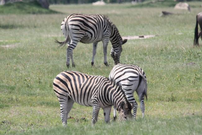 Zebra at Ngweshla